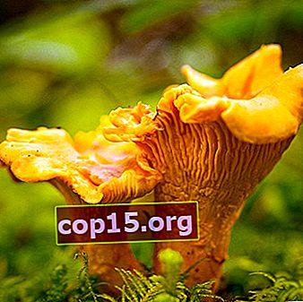 Hur kantareller ser ut: foto, beskrivning av svamp