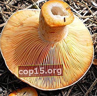 Avvelenamento da funghi con capsule di latte allo zafferano: sintomi e pronto soccorso alla vittima