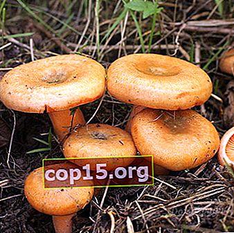 Ryzhiki nella regione di Samara: i posti migliori per la raccolta dei funghi