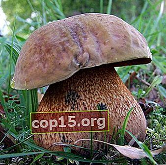 Che aspetto ha un fungo poddubovik: foto e descrizione