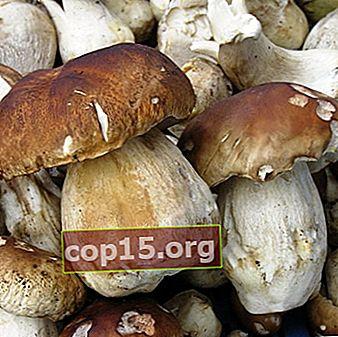 Champignons tubulaires: espèces comestibles et non comestibles
