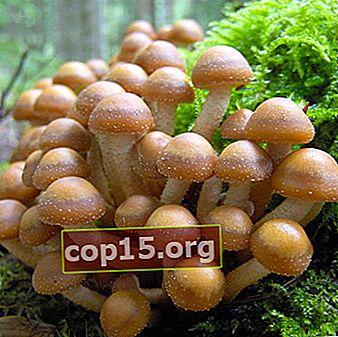 Agarichi di miele estivo di funghi commestibili: foto, descrizione