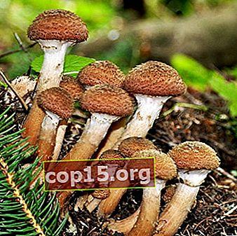 Dove e quando raccogliere i funghi in Bashkiria