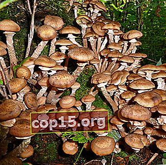 Où chercher des champignons au miel à Tula et dans la région de Tula