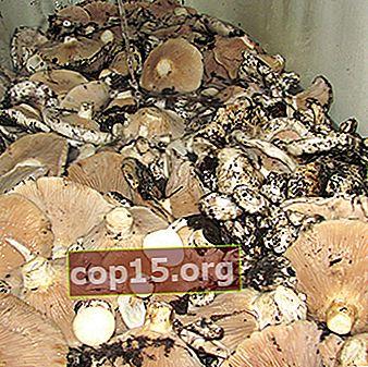 Comment conserver les champignons au lait frais et salés