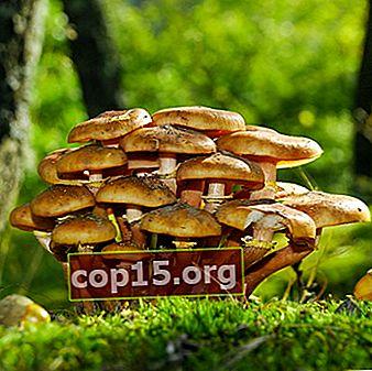 Setas de miel en la región de Oryol: dónde recoger setas