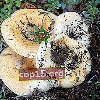 ¿Los hongos de leche crecen en octubre y en qué bosque?