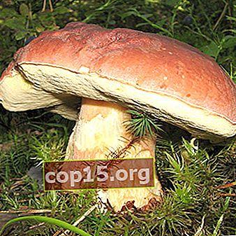 Cosa è meglio fare con i funghi porcini