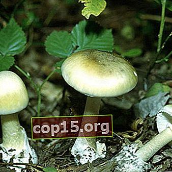 Descripción y foto del hongo hongo pálido: ¿cómo se ve y cómo distinguirlo?
