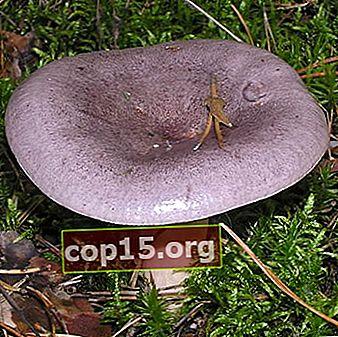 Serushka: descrizione e foto del fungo