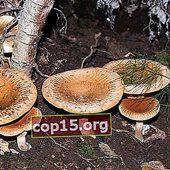 Giftig svamp tunn gris: foto och beskrivning