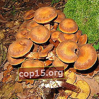 Bevuxna svampar: hur de ser ut och kan de samlas in