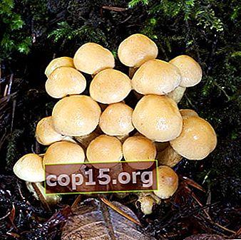 Typer av falska svampar: foto, beskrivning, skillnad från ätliga svampar