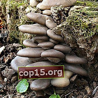Ostronsvamp: foto och beskrivning