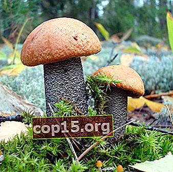 Boletus svamp: foto och beskrivning