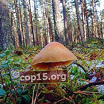 Ringkeps - ätbar svamp