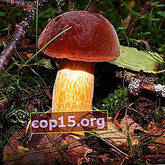 Dubovik: tipuri de ciuperci - comune și pătate