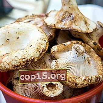 Cosa puoi fare con i funghi al latte: ricette di funghi