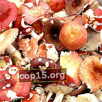 Russula salata calda, fredda e secca