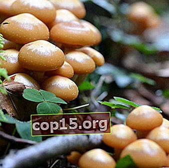 Dove e quando raccogliere i funghi al miele a Mosca e nella regione di Mosca