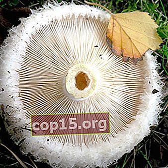 Qual è la differenza tra funghi al latte e podgruzdki, cigolanti e altri funghi (con foto)