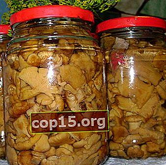 Chanterelles en conserve: préparations aux champignons pour l'hiver