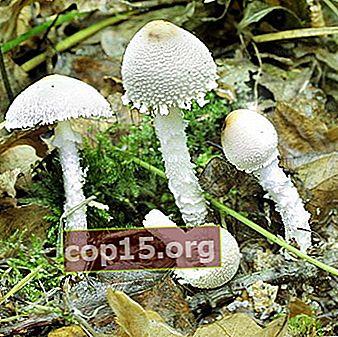 Lepiots - hongos venenosos
