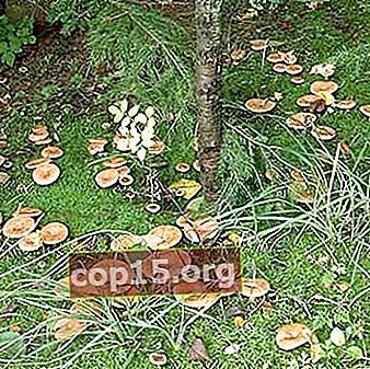 Var och hur svampar växer: vad svampplockare behöver veta