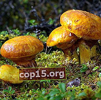 Butterlets - funghi commestibili: foto, descrizione