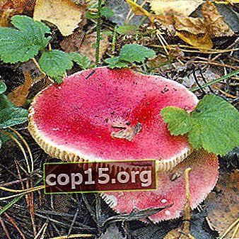 Varning! Dödligt giftiga svampar!