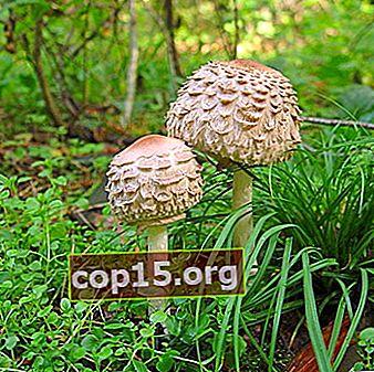 Ätbara svampparaplyer: foto och beskrivning