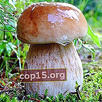 Fördelarna och skadorna med porcini svamp för människokroppen