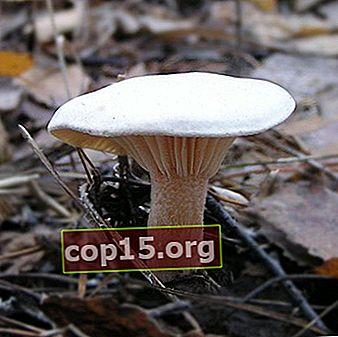 Hängande svamp och foto. Podvishnya (körsbär)