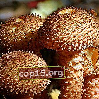 Ätbar fling: foto och beskrivning av svampen