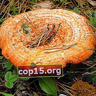 Ryzhiki - ätliga svampar: foto och beskrivning