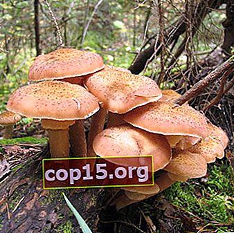 Honungsvampar i Chelyabinsk-regionen: de mest svampplatserna