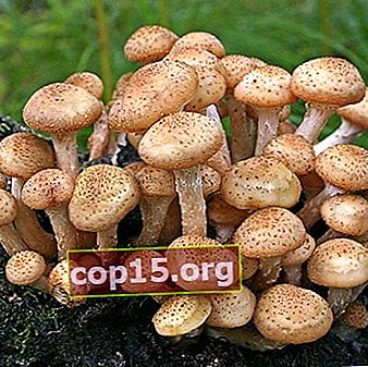 Lugares donde crecen los hongos de miel en Samara y la región de Samara