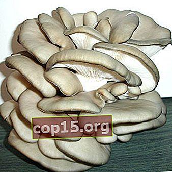Cultivo de hongos ostra de diferentes formas