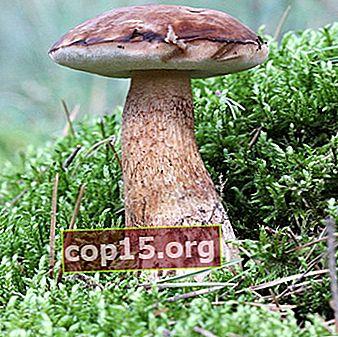 Il fungo fiele (amarezza) è velenoso o no?