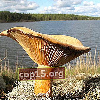 Samling av svamp i Jekaterinburg och Sverdlovsk-regionen