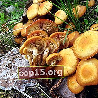 Funghi estivi, autunnali e invernali nella regione di Saratov