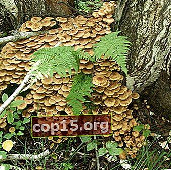 Funghi al miele a Ufa: i posti più ricchi di funghi