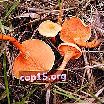 I falsi finferli sono velenosi e come distinguerli dalle specie commestibili?