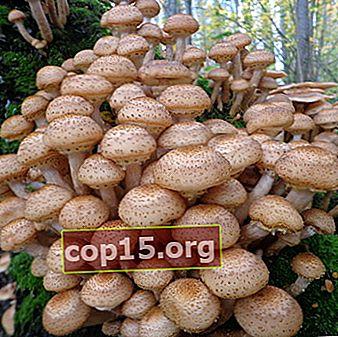Dove crescono i funghi chiodini a Penza e nella regione di Penza