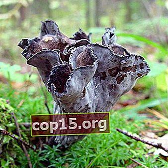Hornformad tratt: foto och beskrivning av svampen