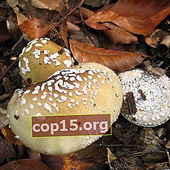 Dobles no comestibles: paraguas de hongos venenosos